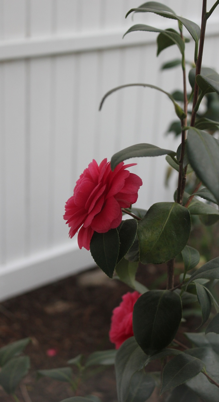 camellia at the kitchen window