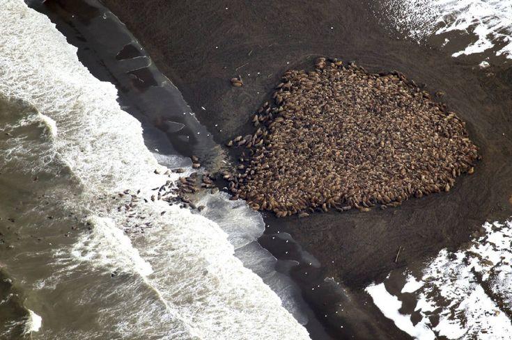 Alaska: i ghiacci si sciolgono, 35000 trichechi a riva