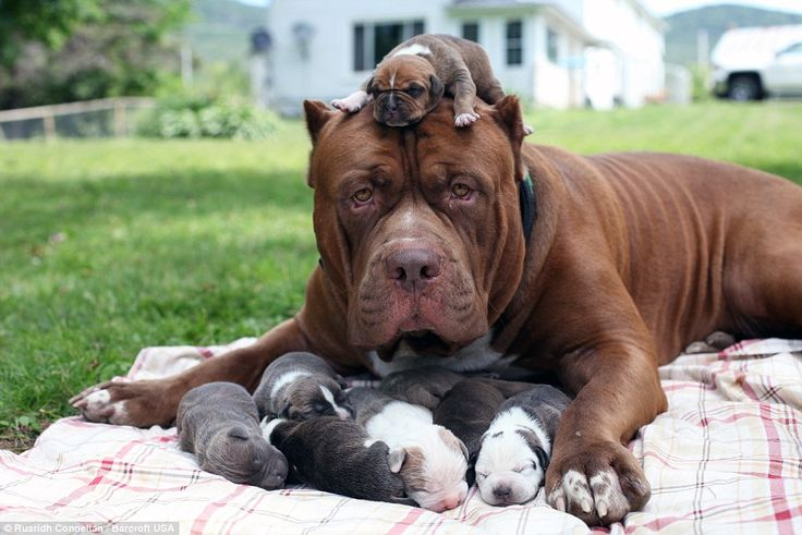 Gentle giant: Hulk, the world's biggest pitbull, is seen cuddled up to his six-day-old pup...