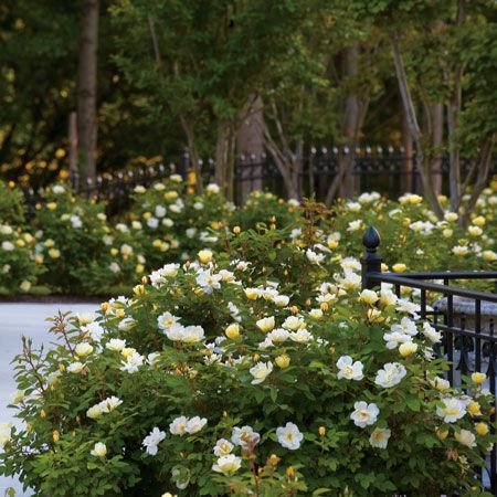 Knock Out® Dependability and Fragrance too! - Fast growing, so you don't have to wait Drought tolerant, means no watering Pest & disease resistant Long blooming, up to 9 months! Adapts to many soils and conditions Fragrant flowers, a first for Knock Out® Roses Delightful new shrub rose from the...