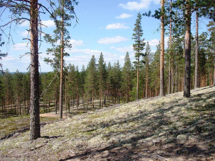 File:Rokua pine forest.JPG