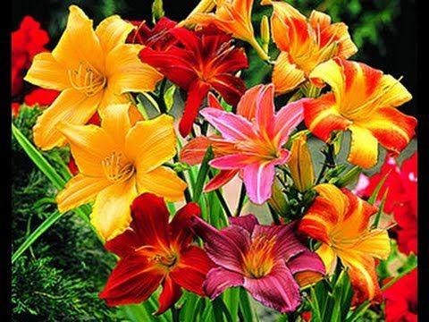 Как украсить сад лилейниками