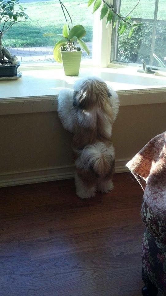 Mosey Shih Tzu guarding the home or wanting to see who is passing by. They are so alert and the cutest dogs while will alert if someone comes to your door.