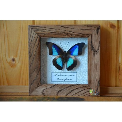 Амазонская бабочка - Препона в рамке