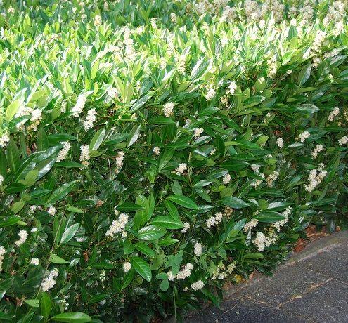 Wintergroene heesters en planten - Modeltuinen Zwanenburg