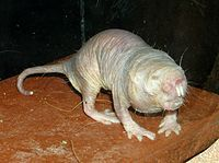 Naked Mole Rat  Typical individuals are 8 to 10 cm (3 to 4 in) long and weigh 30 to 35 grams (1.1 to 1.2 oz).
