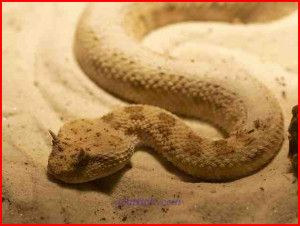 horned vipers image