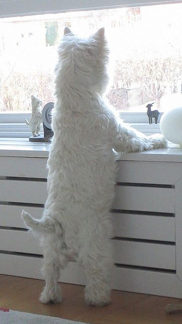 westie warrior on watch - nothing breaks their concentration, nothing!