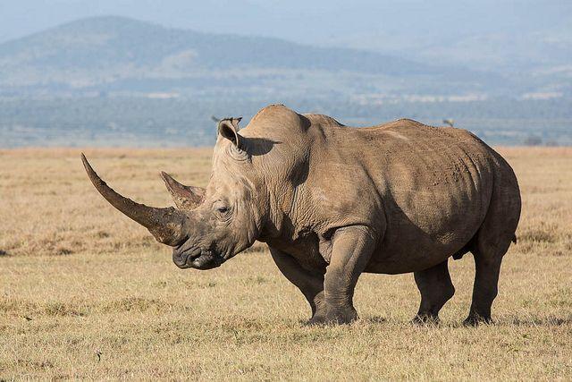 White rhinoceros, Ceratotherium simum, via Flickr.