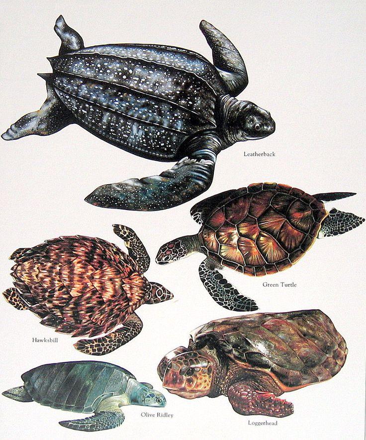 Leatherback Turtle, Green Turtle, Loggerhead 1984 Vintage Turtles Book Plate Colored. 10.00, via Etsy.