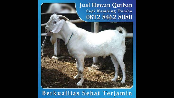 0812 8462 8080 (Tsel), Jual Kambing Qurban di Joglo Kebon Jeruk Kedoya