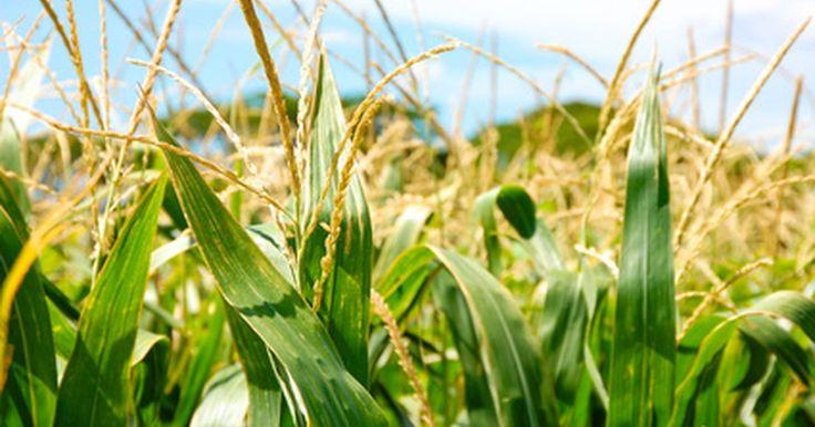 Cómo cocinar el maíz en la mazorca en una olla a presión. Es mejor si compras el maíz en la mazorca fresco y lo preparas el mismo día. El azúcar en el maíz inicia la conversión a almidón inmediatamente después de que se recolectó. Cocinar el maíz en la mazorca en una olla a presión utiliza el vapor y la presión para cocinarlo rápidamente, preservando las vitaminas y minerales. La mayoría de las ollas a ...