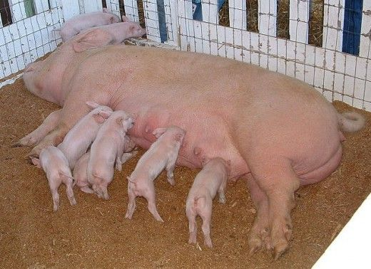 Different Types of Hog Pens: Pig Pen Options for the Entire Life Cycle of a Pig -- Farrowing, Weaning, and Finishing