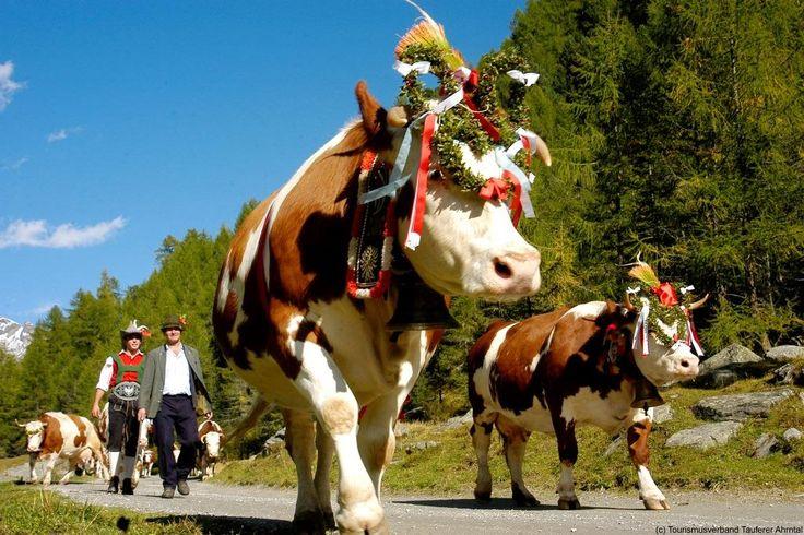 #Suedtirol #AltoAdige #Almabtrieb #Kühe #Mucche #Alm #Malga #Wald #Bosco #Natur #Natura #Fest #Festa