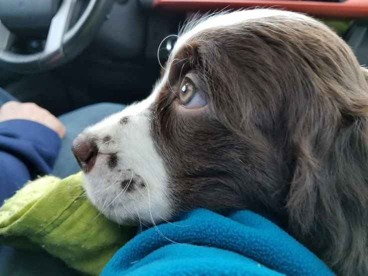 PRECIOUS ENGLISH SPRINGER SPANIEL PUPPY <3<3<3<3