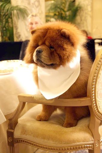 'I'm all dressed up and ready for Dinner' - Such a Beautiful Chow Chow Dog