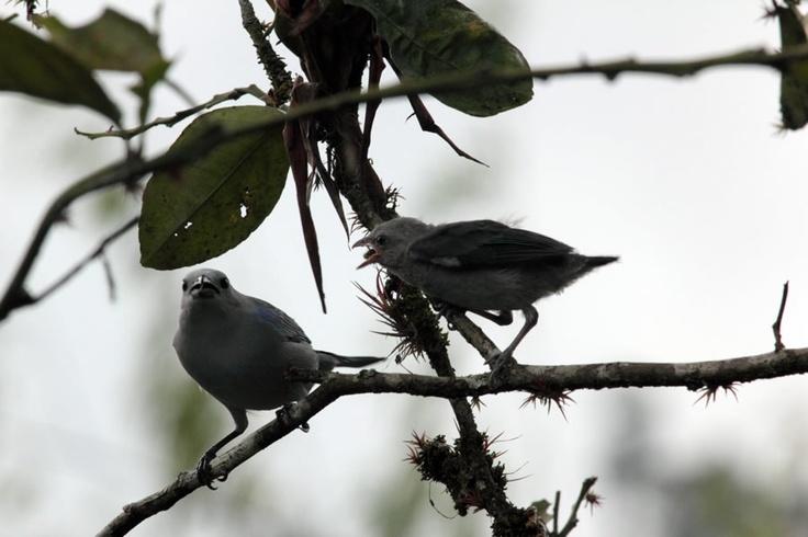Azulejo común en una rama en El Portal, Paraíso Natural