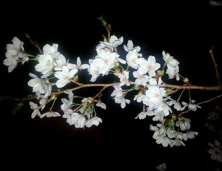 마이산 밤 벚꽃