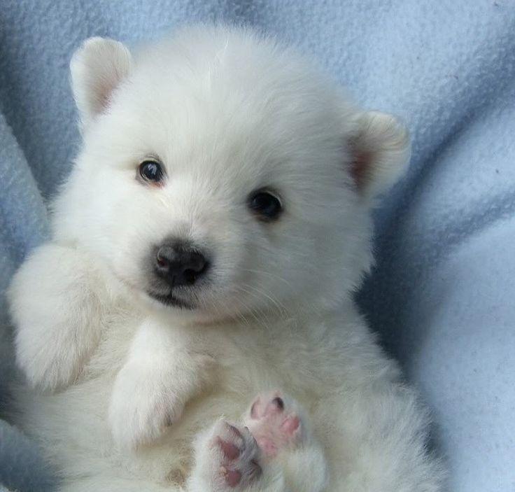 Bukowski, my American Eskimo puppy at 4 weeks
