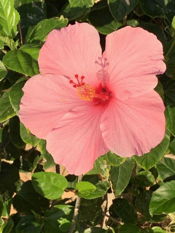 Hawaiian Hibiscus In 2020 Hawaii Vacation Rentals Hawaii Rentals Hawaii Vacation