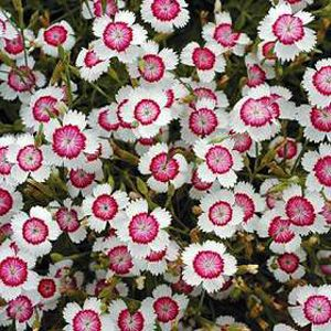 another variety of dianthus