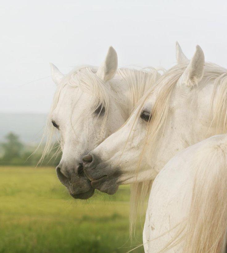Horse Kiss Photograph  - Horse Kiss Fine Art Print