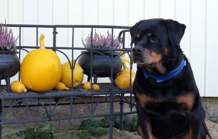 This handsome Rottweiler (Rexlean Lätsä) name Urho 9 years old is wearing blue Kaulus-collar. Coming soon to online store. #dog #rottweiler #blue #collar #design