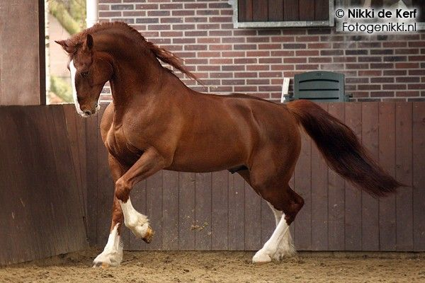 Frederiksborg The Oldest Horse Breed Of Denmark It Is Usually