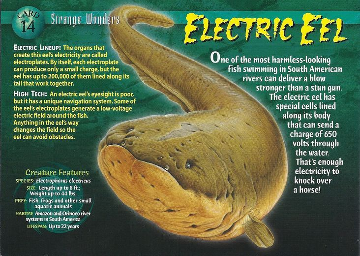 9 Best Electric Eels Images On Pinterest Electric Animais And