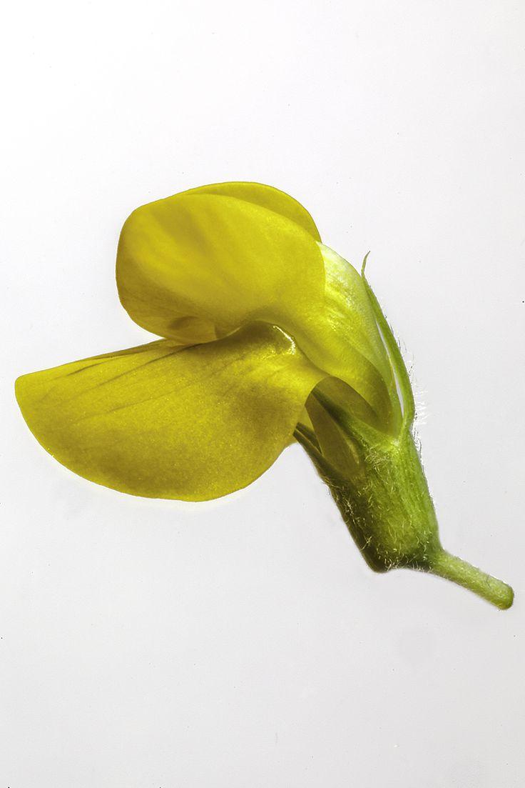 Lathyrus pratensis flower