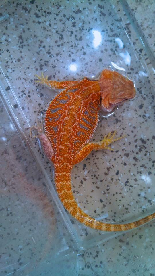 BRAAVOS - (Future Breeder) Rainbow Sandfire Flame Tiger (Bearded Dragon)