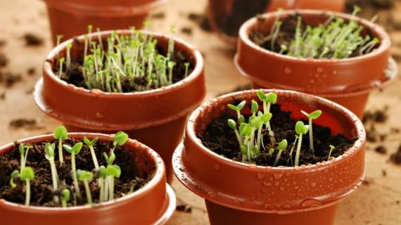 Выращивание растений из семян имеет множество плюсов. Для каждого региона нужно четко соблюдать свои сроки посева семян на рассаду.Некоторые овощные и цветочные растенияможно посеять уже в конце января - начале февраля.