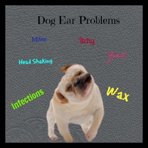 There are many dog ear problems that make your dog have itchy ears and makes him shake his head a lot.  Check out this page for more advice.
