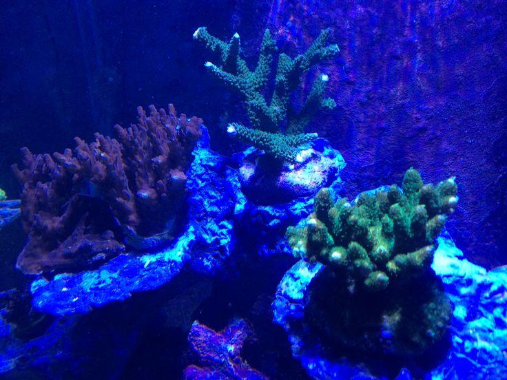 more sps corals
