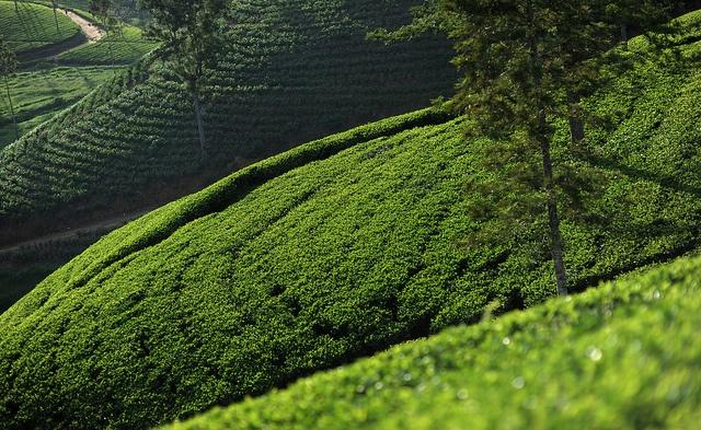 Tea Fields. Sri Lanka (Dimah, Ceylon)