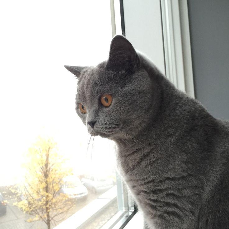 Lufti british short hair cat - blue :-)