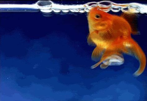 рыбка в аквариуме гиф | Гифу
