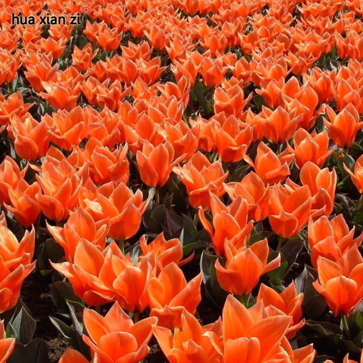 Tulip Seed Perfume Flower Bonsai Plant Perennial Orange Potted Home Garden 10PCS #MyLuckyHouse #Bonsai