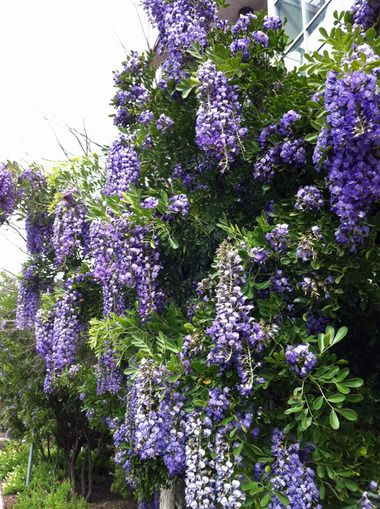 """""""Texas Mountain Laurel, Texas-sized. Yes, I know it looks like wisteria, but it's not."""""""