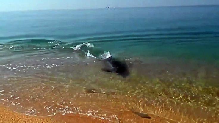 Дельфин охотится на берегу Керчи