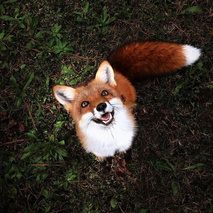 Juniper the happiest fox!