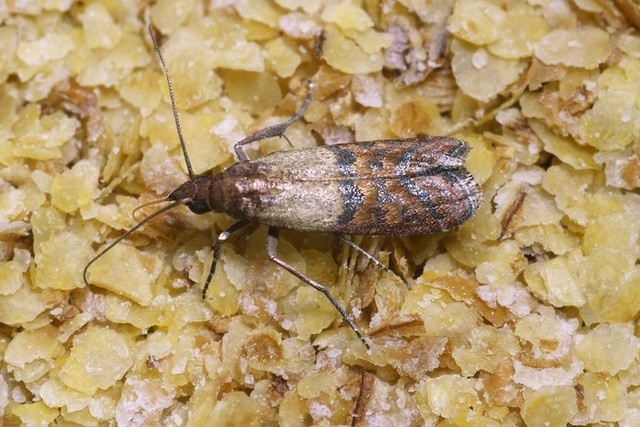 Larvae in your lunch a super gross reason to avoid for Pantry moths