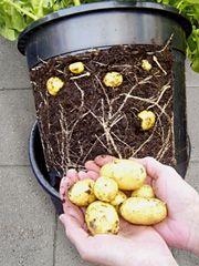 """""""Kartofler groet i beholdere er ikke nogen ny idé, men er særdeles egnet til dyrkning på steder uden have.  Fordelen er, for det første, det er i en beholder, hvilket gør det nemt at placere de fleste steder – på en altan, på en husbåds dæk, i en gårdhave eller ved et lyst vindue i en snæver vending. [...]  Der findes flere eksempler på kartoffeltønder og -spande med samme princip"""""""