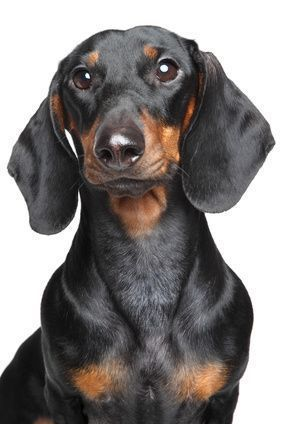 """Introduction to the Dachshund Dachshund means """"badger dog"""" in German and these long, low dogs were originally bred to hunt fierce badgers. They could dig to go underground into the badger's lair and many Dachshunds still love to dig today. Dachshunds come in both standard and miniature sizes and in three coat types (smooth, longhair, …"""