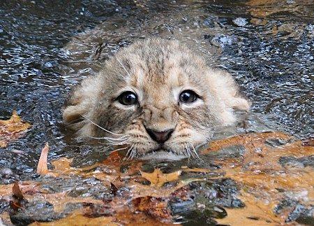 写真:時事通信猫はあんまり泳がないうちの猫は泳ぐどころか体に水がかかるのもいやがるのにここは、アメリカ・ワシントンの動物園ライオンも猫科だけどしっかり泳ぎの練習をして家猫との違いを見せてくれるさすが百獣の王ですそれにしてもこの子鼻の上にしわ寄せて一生懸命さが伝わってくるいい写真ですねえがんばれ、がんばれ■百獣の王も大変(時事通信)2010年10月27日(水)09:5126日、米首都ワシントンの動物園で、獣舎を取り巻くお堀に漬かって水泳の練習に励むライオンの子供。動物園は小さな百獣の王を囲い内に放つ前に、おぼれることのないよう泳ぎの腕前を確認しているという【AFP=時事】泳ぎの練習をするライオンの子