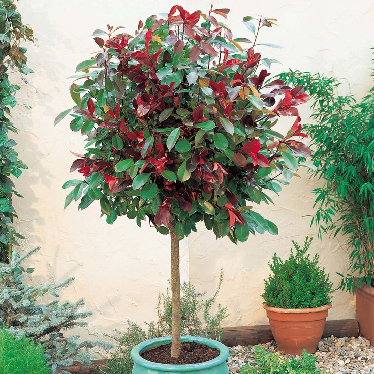 photinia red robin - also a possible focal point