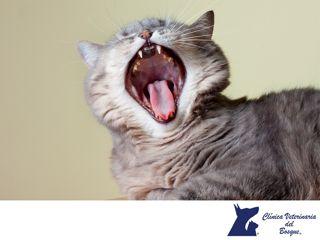 ¿Cómo puedo saber si le duelen los dientes a mi gato? LA MEJOR CLÍNICA VETERINARIA DE MÉXICO. Si tu gatito deja de comer o evita ser acariciado en el área de la boca, puede ser un indicativo de presentar dolor dental. En Clínica Veterinaria del Bosque te recomendamos acudir a nuestras instalaciones para que un médico veterinario atienda la salud integral de tu mascota.  #veterinaria