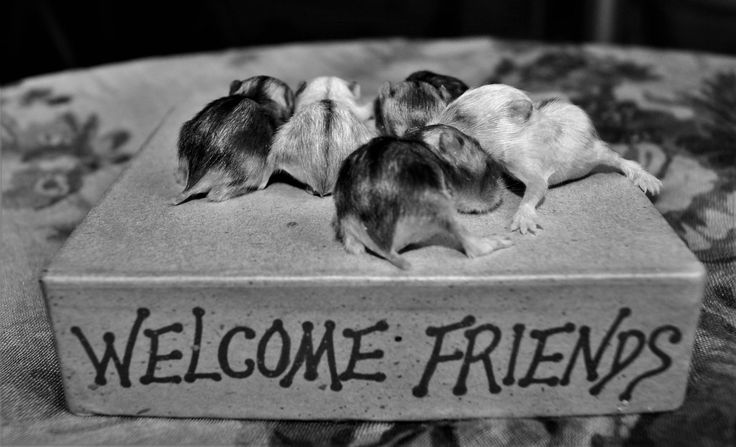 https://flic.kr/p/GQufD9 | WELCOME FRIENDS!  #lovely #baby #hamsters #hamster #pet #cute #animals #welcome #friends #puppy #puppies #love #nature #life #newborn