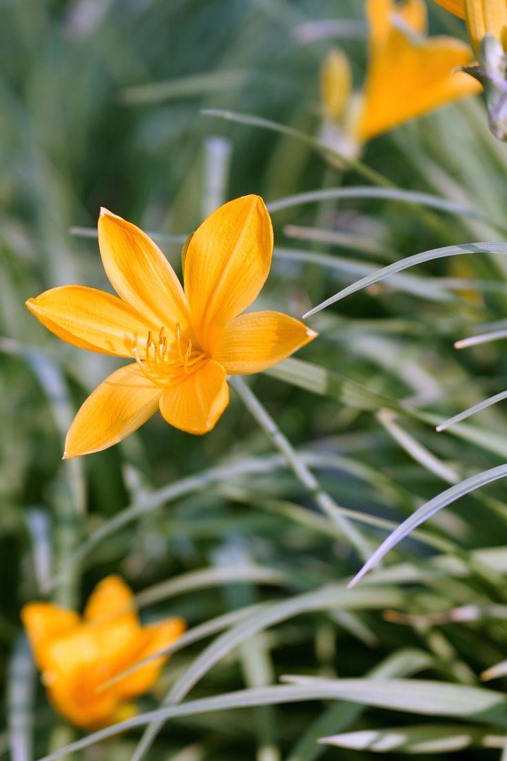 Taglilien – Pflege, Standort, vermehren