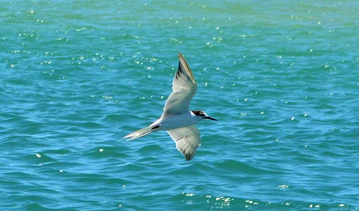 little tern north coast new south wales